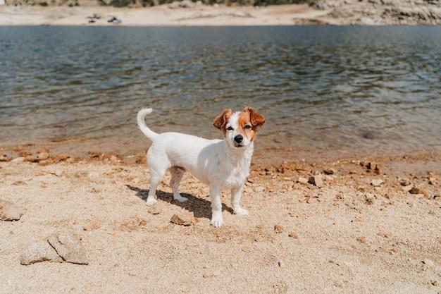 Bonito pequeno jack russell cachorro nadando no lago. horário de verão. animais de estimação, aventura e natureza