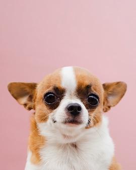 Bonito retrato de um cão de raça chihuahua em fundo rosa
