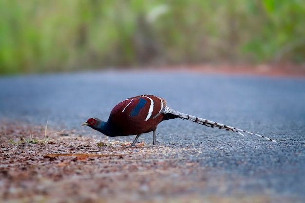 Bonitos pássaros na natureza, faisão de hume, faisão da sra. hume, faisão-de-cauda-barrada (syrmaticus humiae)