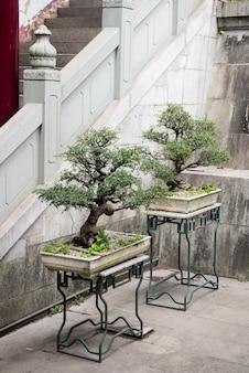Bonsai árvores