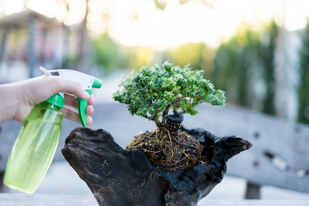 Bonsai cuida e cuida do crescimento das plantas