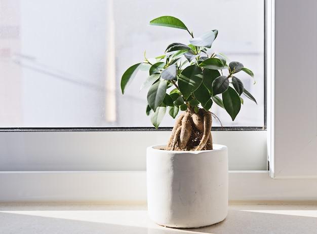 Bonsai em vaso de ficus