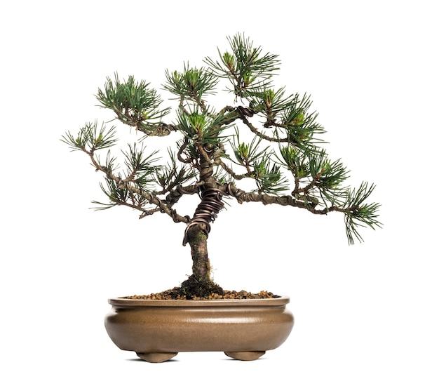 Bonsai pinheiro silvestre, pinus sylvestris, isolado no branco