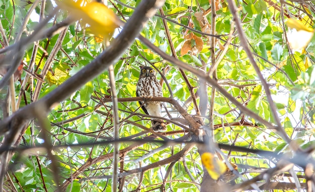 Boobook do norte ou brown falcão coruja (ninox japonica) na floresta