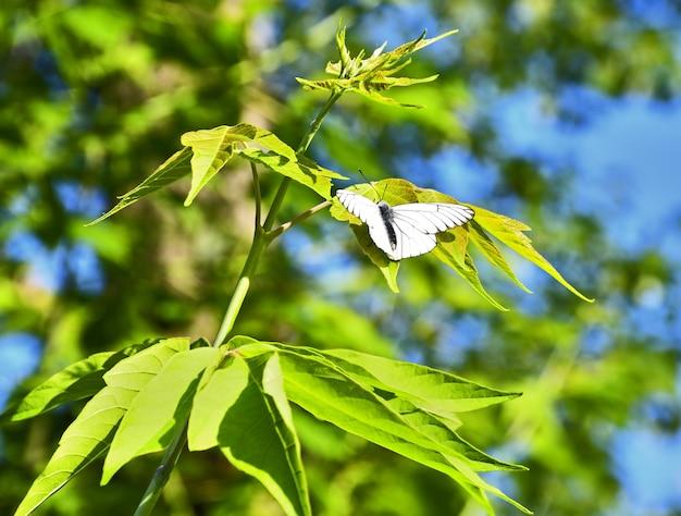 Borboleta abre suas asas senta-se em uma folha verde no verão o fundo é desfocado