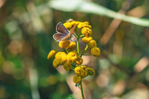 Borboleta alaranjada pequena na flor selvagem amarela com espaço da cópia no bokeh.