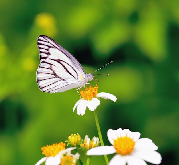 Borboleta, alimentando-se de uma flor