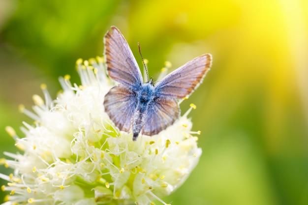 Borboleta azul, em uma flor, inseto primavera