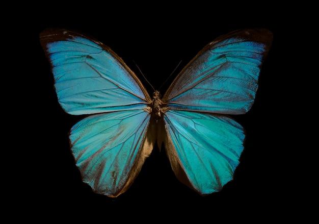 Borboleta azul morfo
