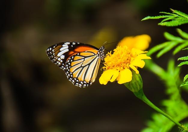 Borboleta bonita que suga o néctar dos estames amarelos brilhantes das flores.
