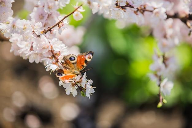 Borboleta coleta néctar das flores da macieira na primavera
