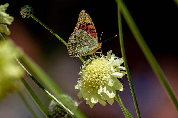 Borboleta colorida (argynnis pandora), alimentando-se de uma flor