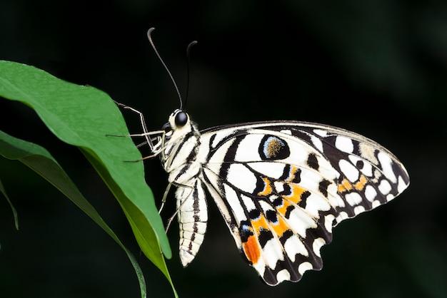 Borboleta colorida pálida na folha