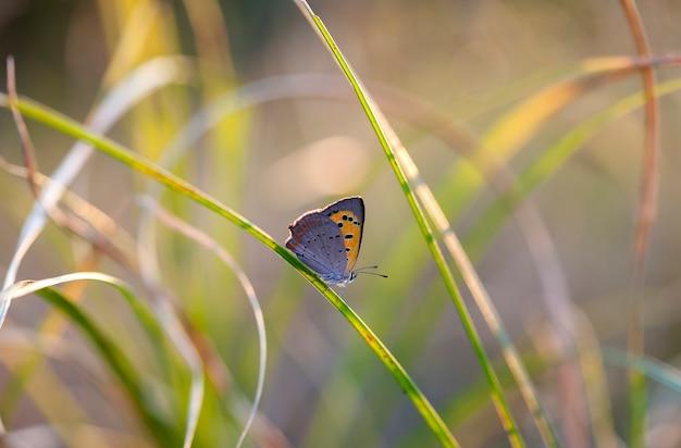 Borboleta de coenonympha, a imagem é feita no campo em um habitat nativo.