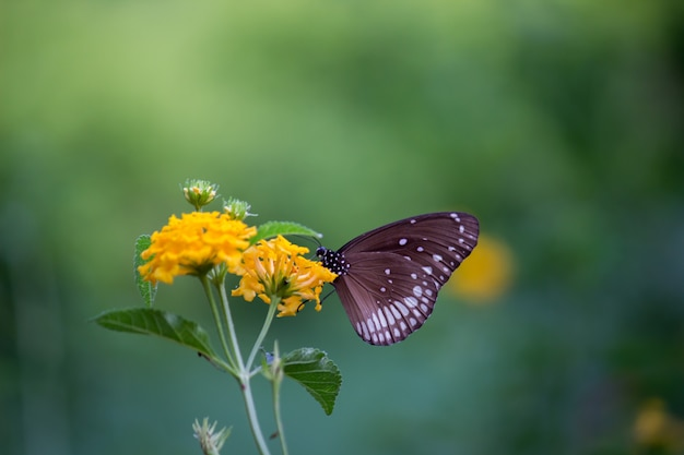 Borboleta de corvo comum na flor