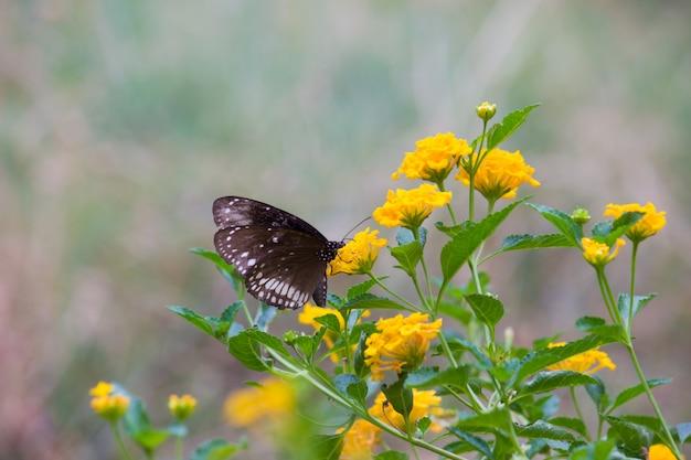 Borboleta de corvo na planta de flor