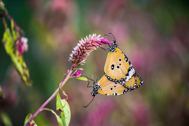 Borboleta de tigre simples acasalamento em flor