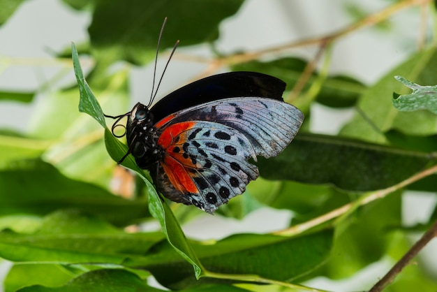 Borboleta delicada de vista lateral na natureza