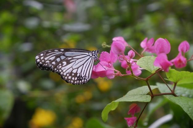 Borboleta do close-up na flor no jardim; borboleta tigre comum