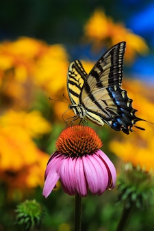 Borboleta e echinacea flor no jardim