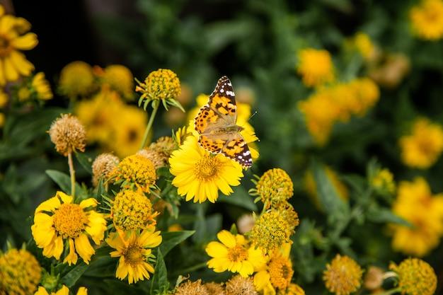 Borboleta e flores amarelas de cosmos