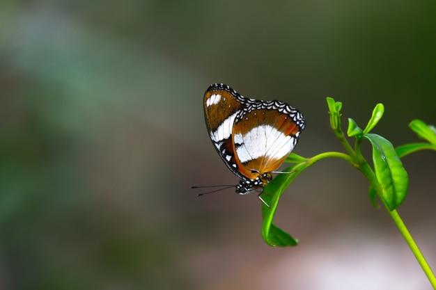 Borboleta em forma de mosca descansando sob a folha de uma planta com um belo fundo verde suave e desfocado