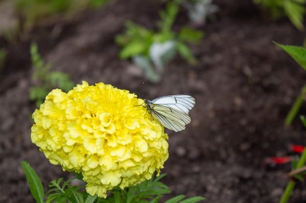 Borboleta hawthorn em uma flor amarela. borboleta hawthorn em uma flor amarela. fechar-se. natureza da sibéria, rússia