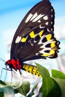 Borboleta inseto closeup