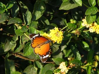 Borboleta laranja nas flores amarelas e folhas verdes