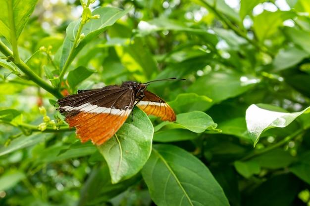 Borboleta marrom, branca e laranja descansando em uma folha