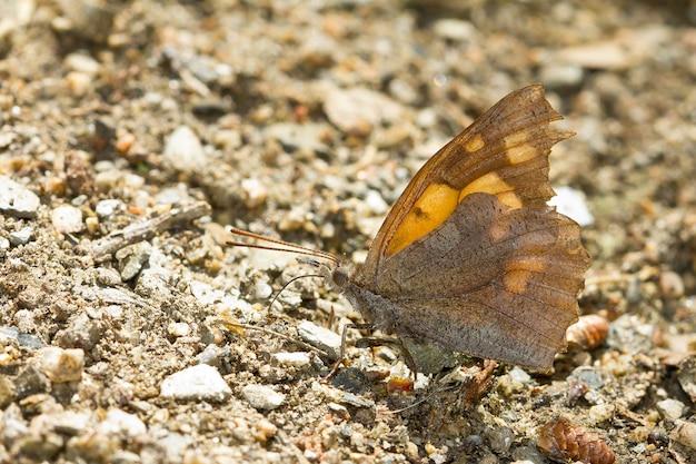 Borboleta marrom no chão, capturada em um dia ensolarado