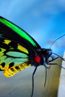 Borboleta monarca closeup
