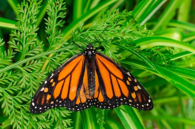 Borboleta monarca (danaus plexippus) com asas abertas em uma folha verde
