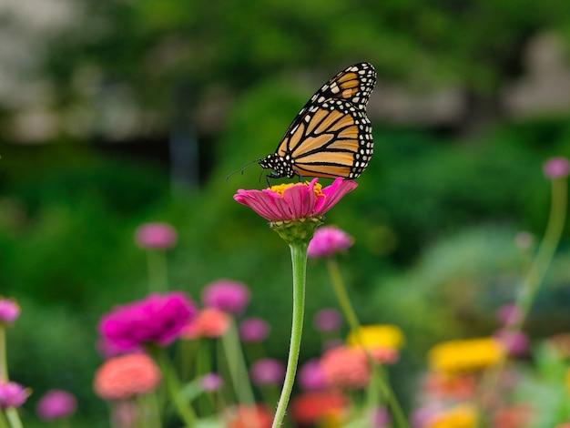 Borboleta-monarca em uma flor rosa em um jardim cercado por vegetação