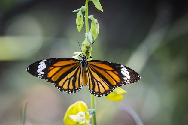 Borboleta-monarca empoleirada em flor amarela