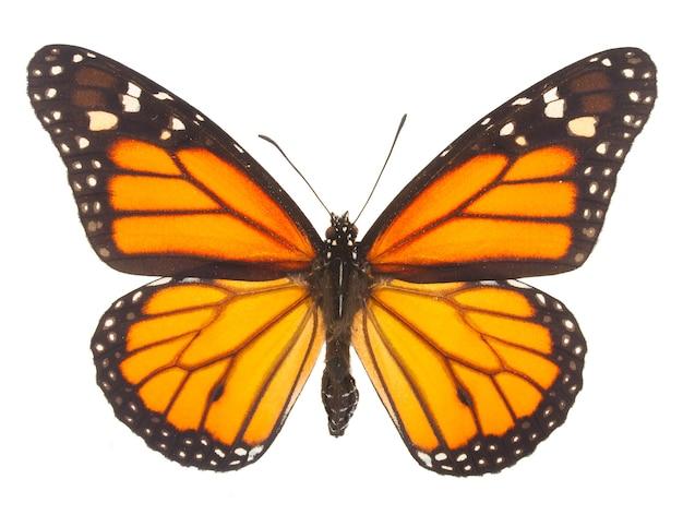 Borboleta monarca laranja isolada no branco