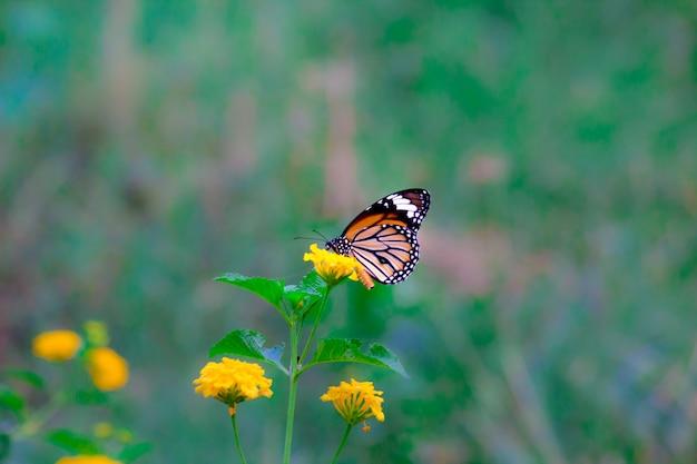 Borboleta monarca na planta de flor
