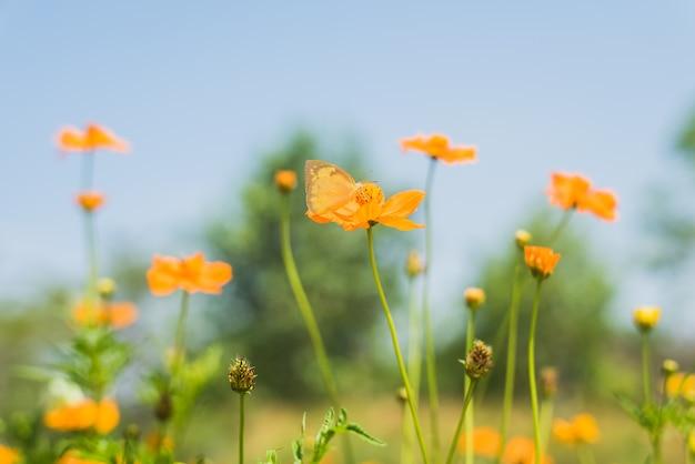 Borboleta na flor amarela da flor do cosmos