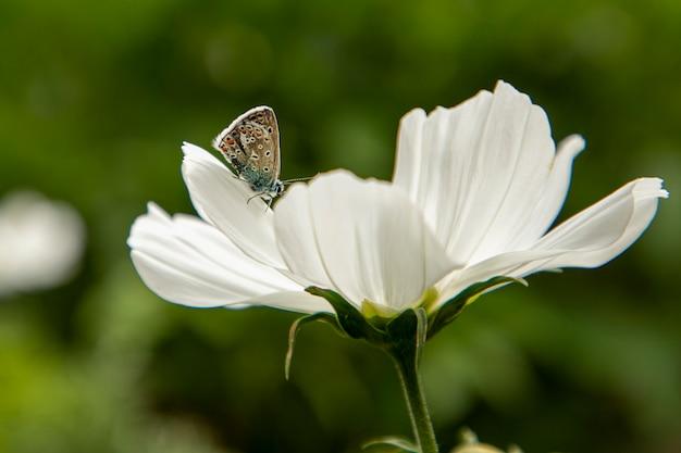 Borboleta na flor branca cosmea