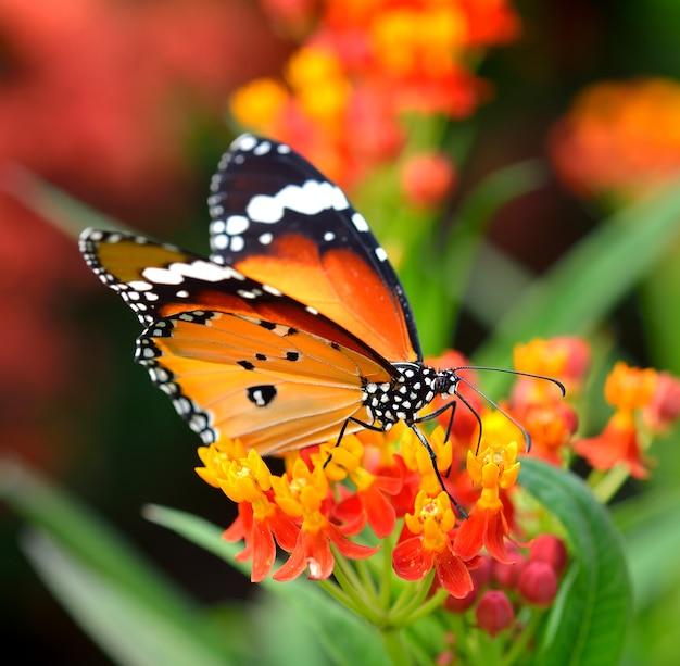 Borboleta na flor de laranjeira no jardim
