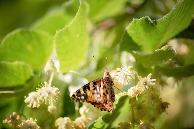 Borboleta na flor de tília.
