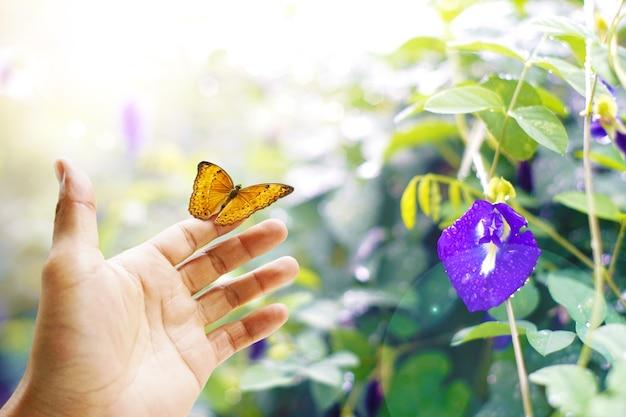 Borboleta na mão borboletas coloridas na floresta com ervilha borboleta.