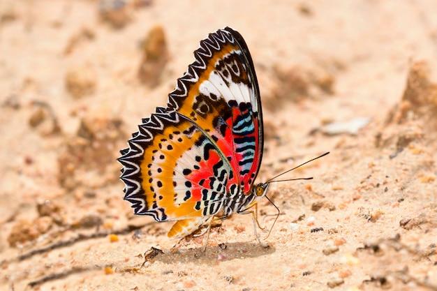 Borboleta na natureza, (lacewing do leopardo: cethosia cyane fruhstorfer)