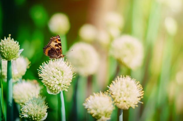 Borboleta no campo de cebola floração