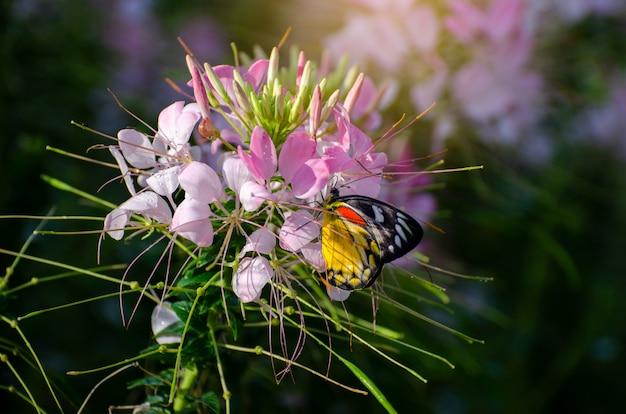 Borboleta no cleome flor spinosa jacq parque real ratchaphruek chiang mai tailândia