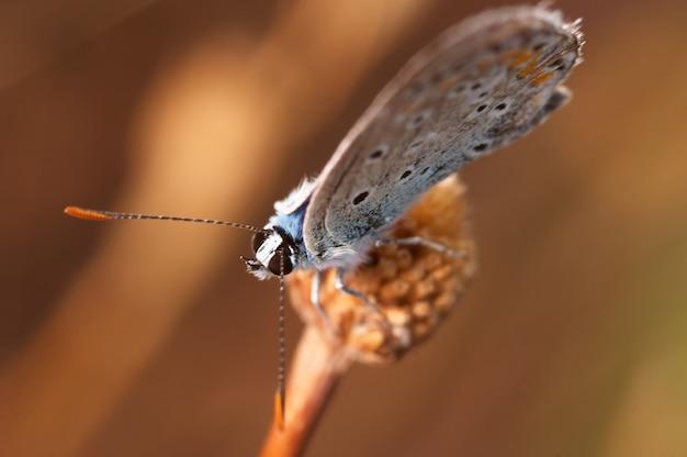 Borboleta (polymmatus icarus)