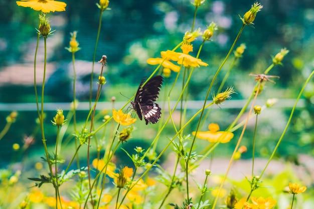 Borboleta preta em uma flor amarela