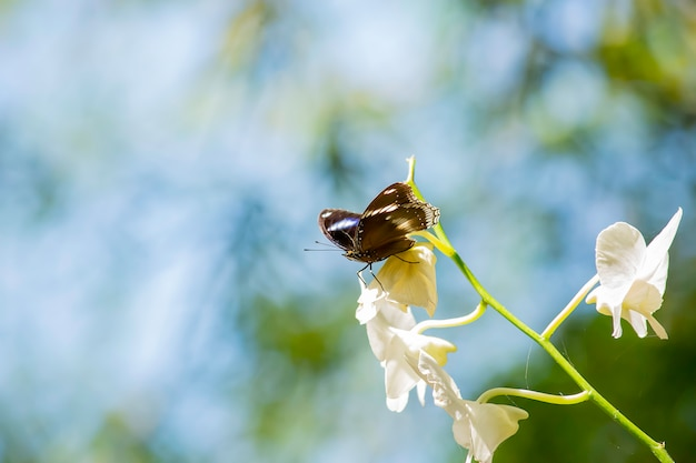 Borboleta preta na orquídea branca no jardim.