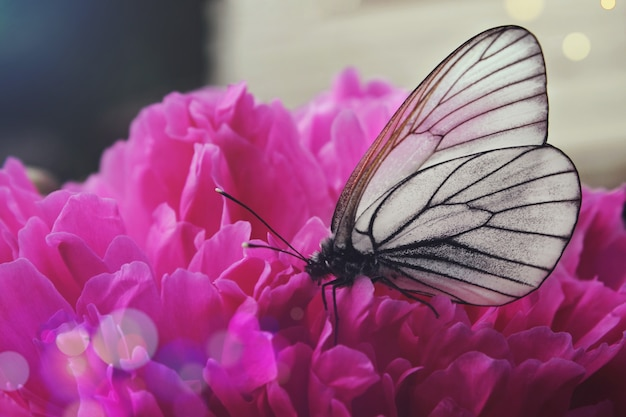 Borboleta preto e branco em uma flor de peônia rosa, close up.