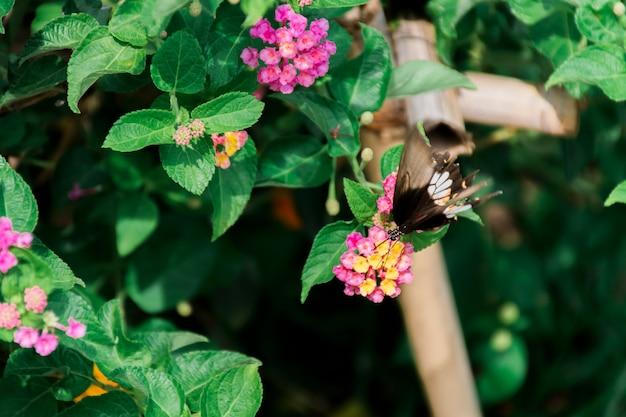 Borboleta pululando, flores amarelo-rosa com um fundo arborizado.